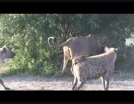 #2 for Create a youtube video  ----------  100 Hyenas attack in 2min!!!!! by ahmedmidan3922