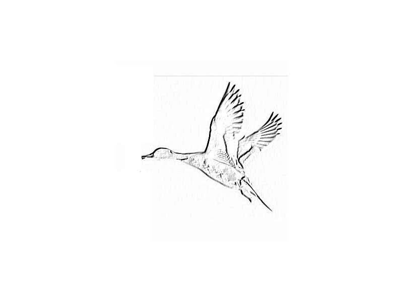 Penyertaan Peraduan #                                        18                                      untuk                                         Pintail Duck